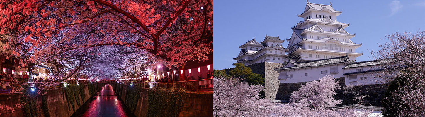 Cherry Blossom Viewing